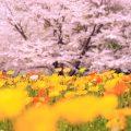 桜の開花・満開の便り と、見ごろチェック に便利なアプリ