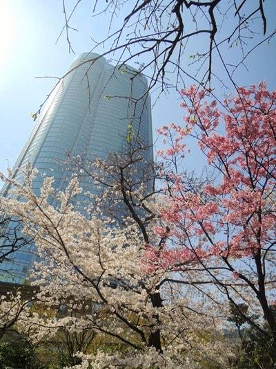 六本木毛利庭園の桜