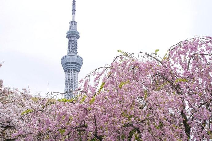 隅田公園の桜