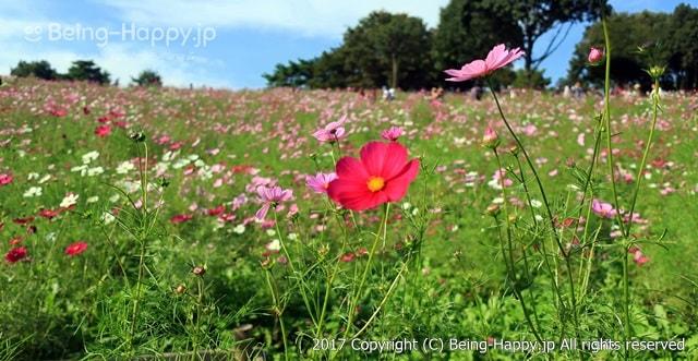 昭和記念公園 - コスモスの花