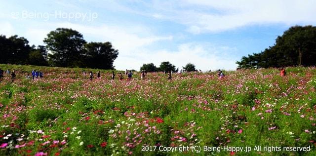 昭和記念公園 - コスモスまつり