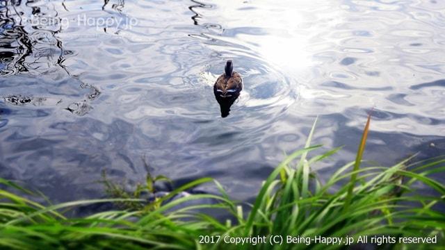 昭和記念公園 - 水鳥の池のカモ
