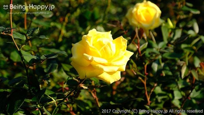 旧古河庭園で印象的だった黄色いバラ