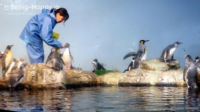 ペンギンの餌付けの様子