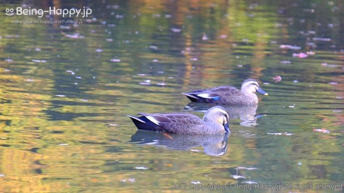 心字池(しんじいけ)と鴨