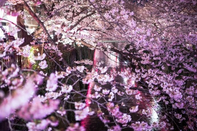 目黒川夜桜