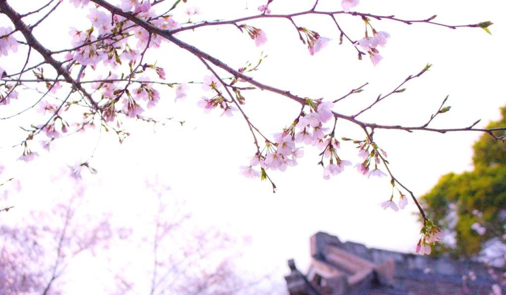 桜開花のイメージ